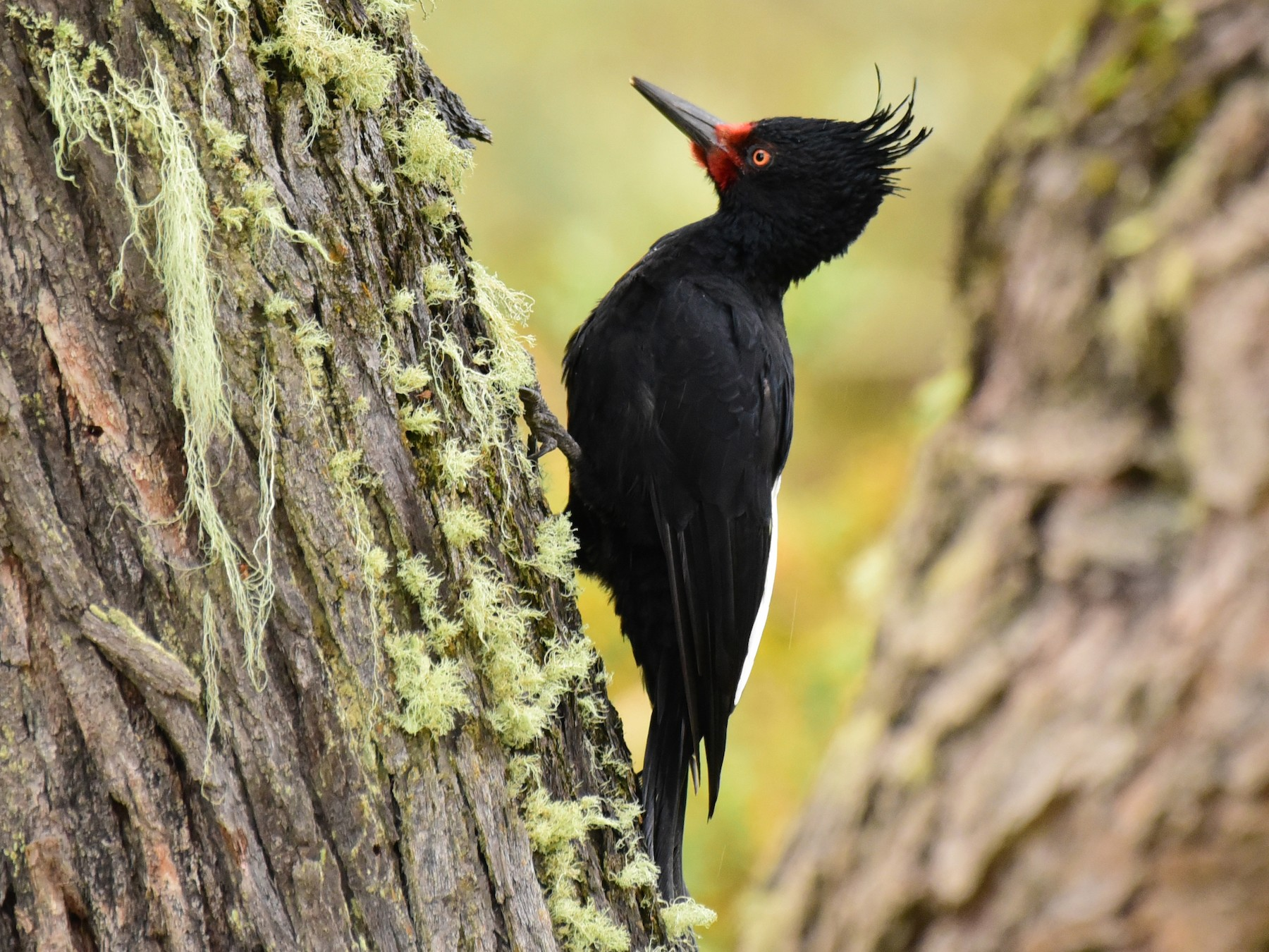 Magellanic Woodpecker - Luiz Moschini