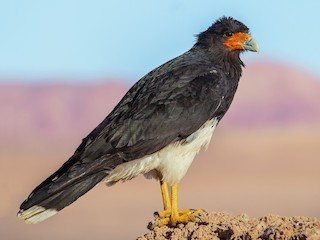 - Mountain Caracara