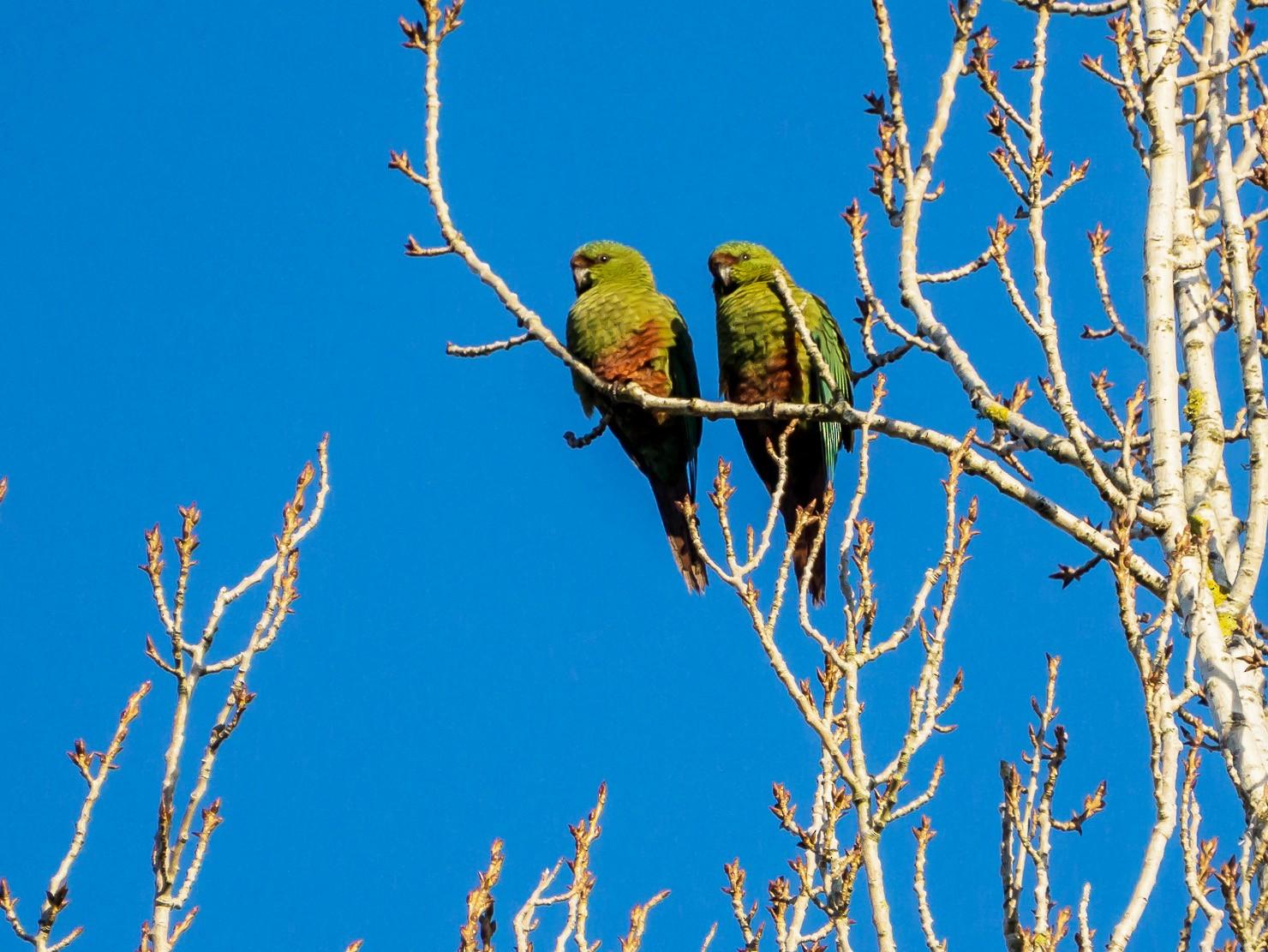 Austral Parakeet - Christian  Araos