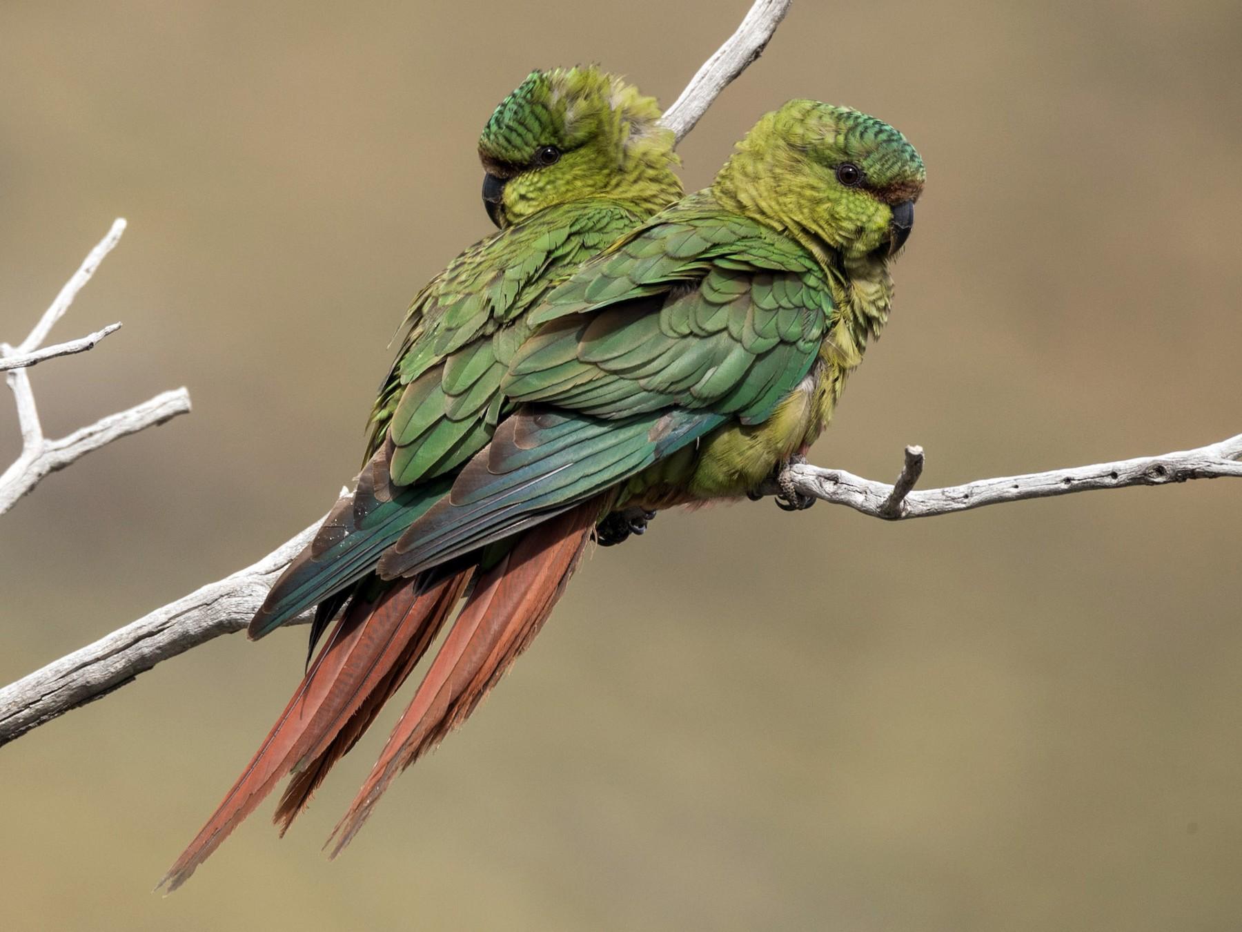 Austral Parakeet - Eduardo Minte