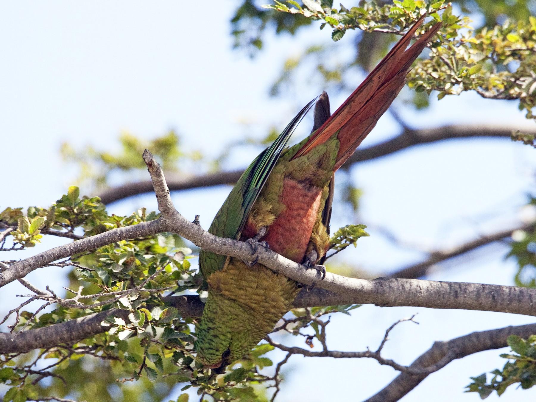Austral Parakeet - Brian Sullivan