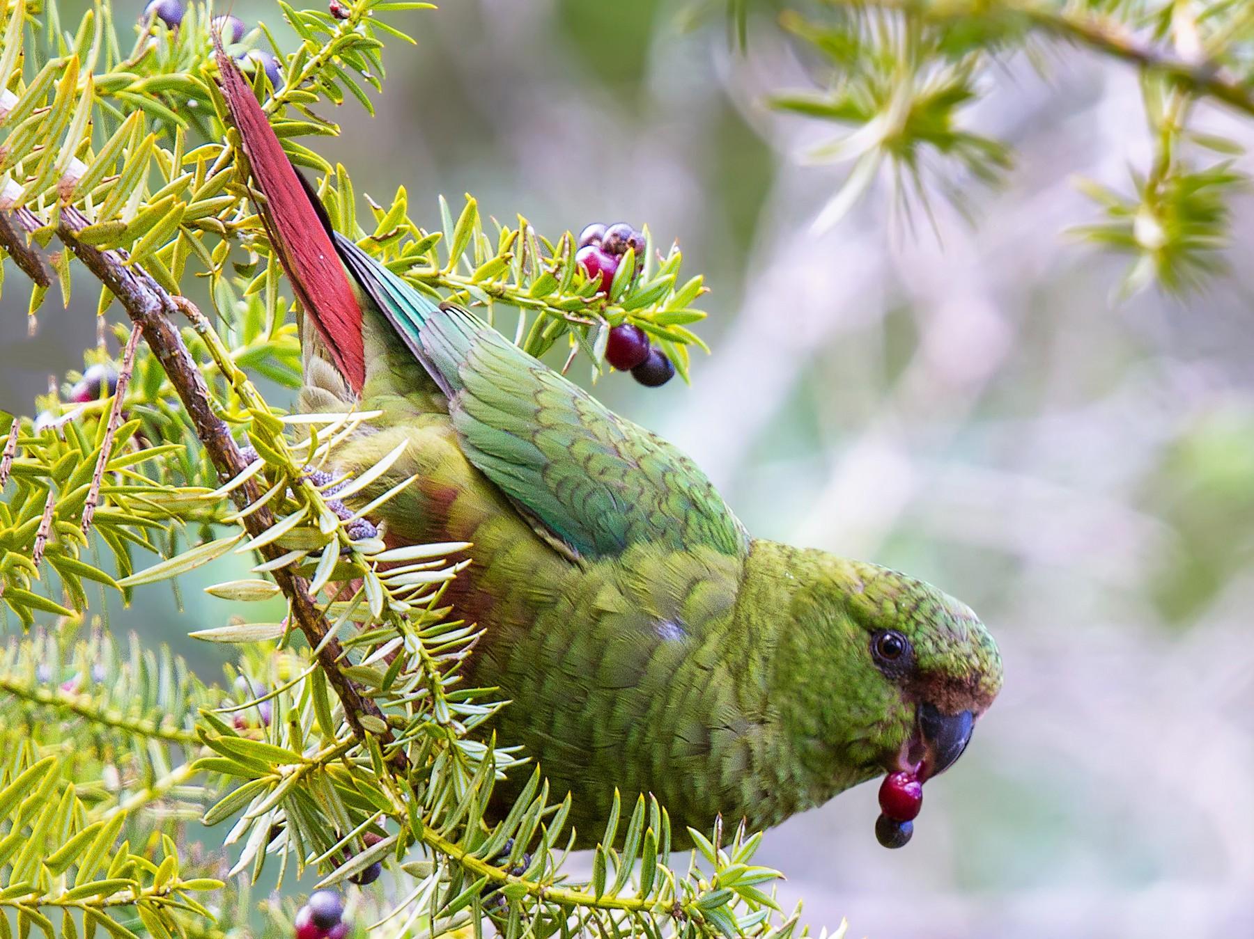 Austral Parakeet - Pio Marshall