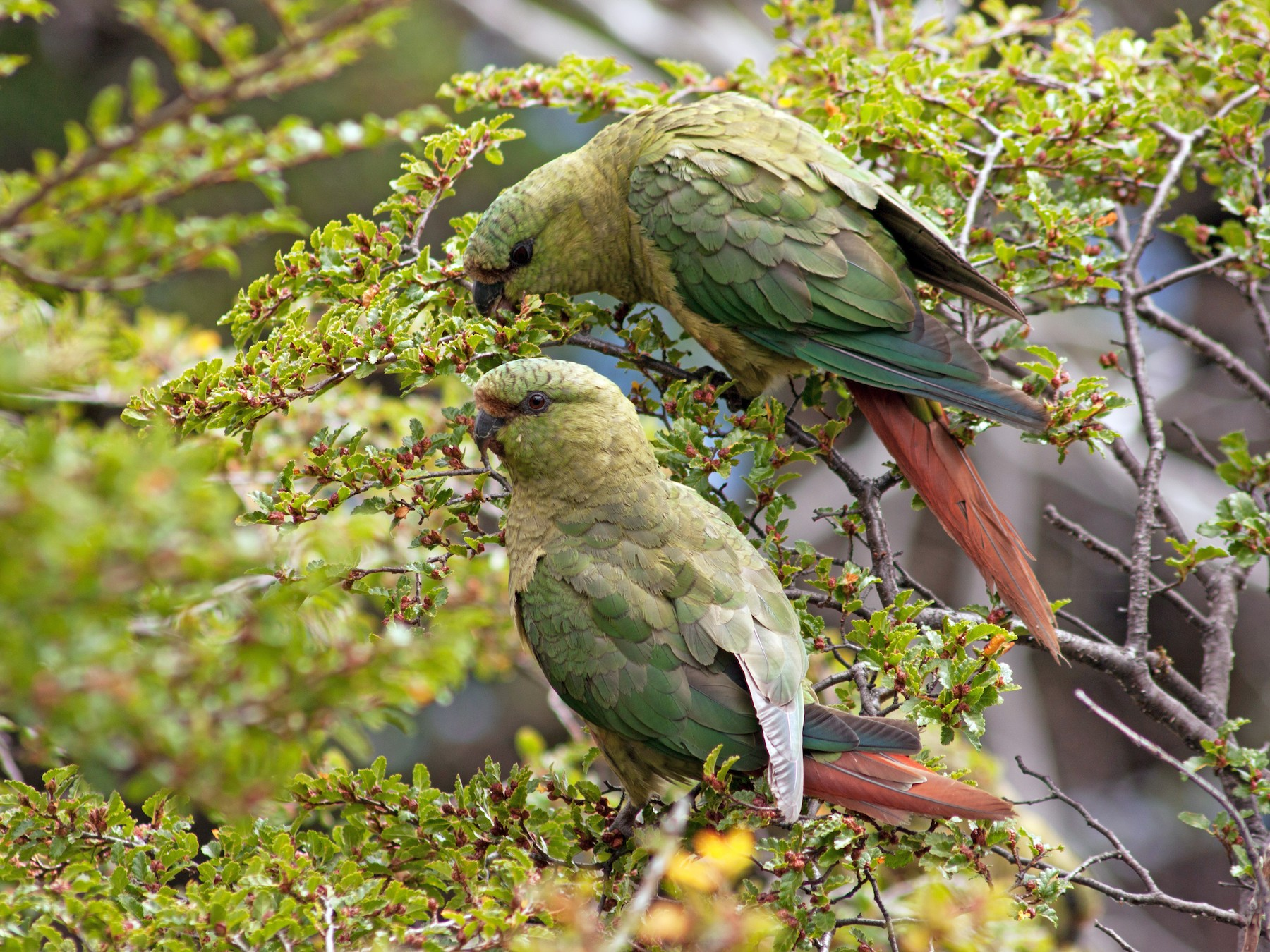 Austral Parakeet - Aina  Sandoval Murgan