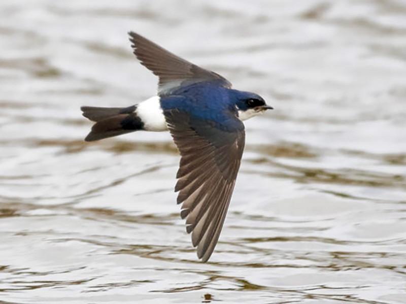 Chilean Swallow - Gonzalo Labarrera