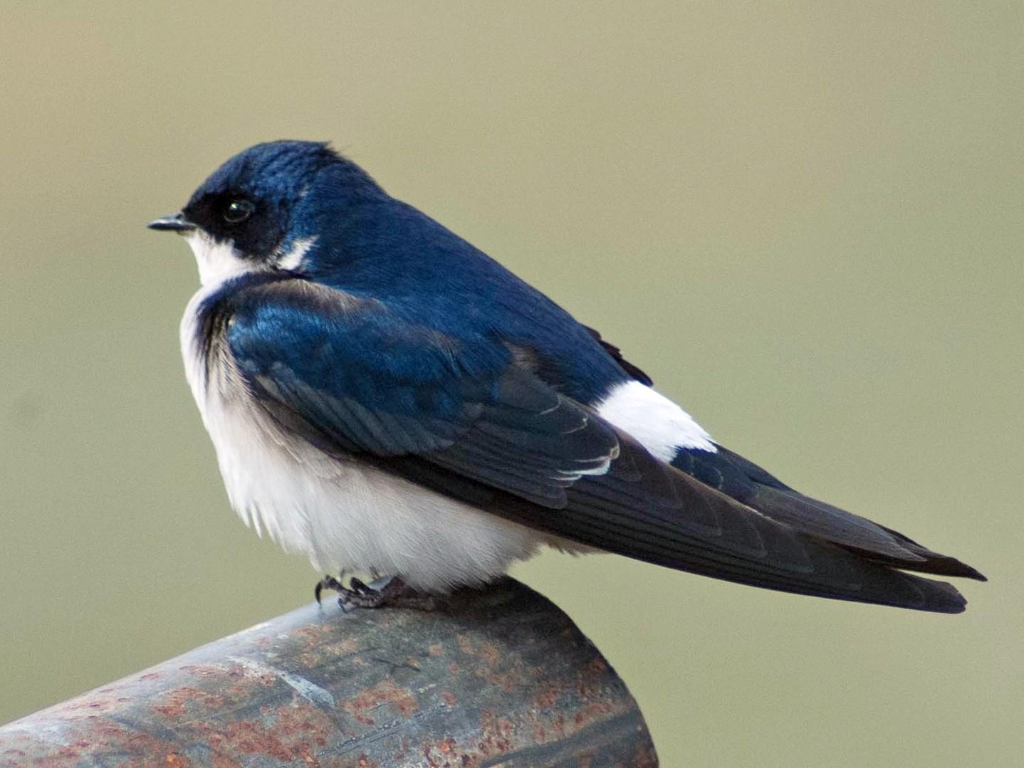 Chilean Swallow - Santiago Imberti