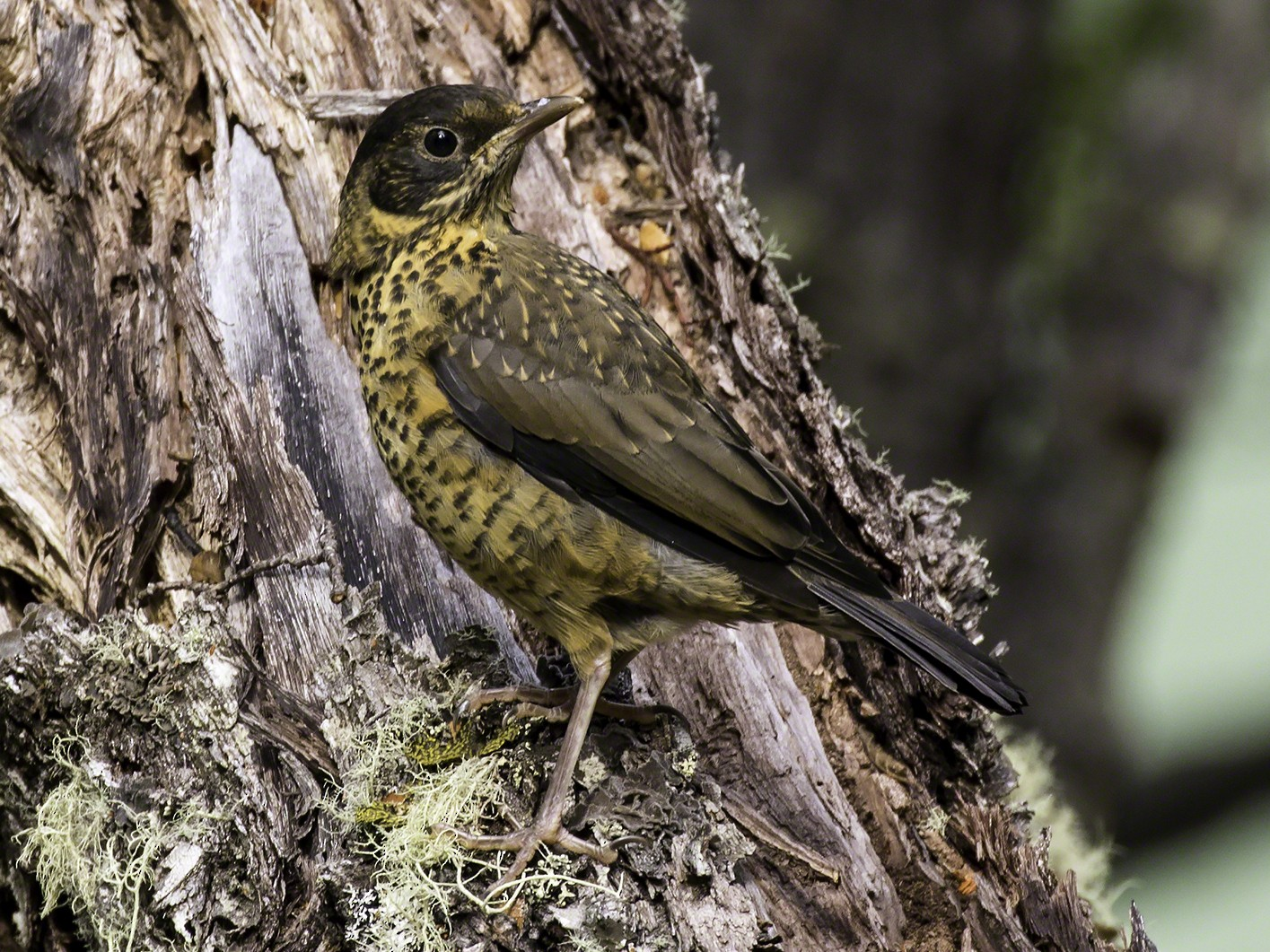 Austral Thrush - Thomas Kallmeyer