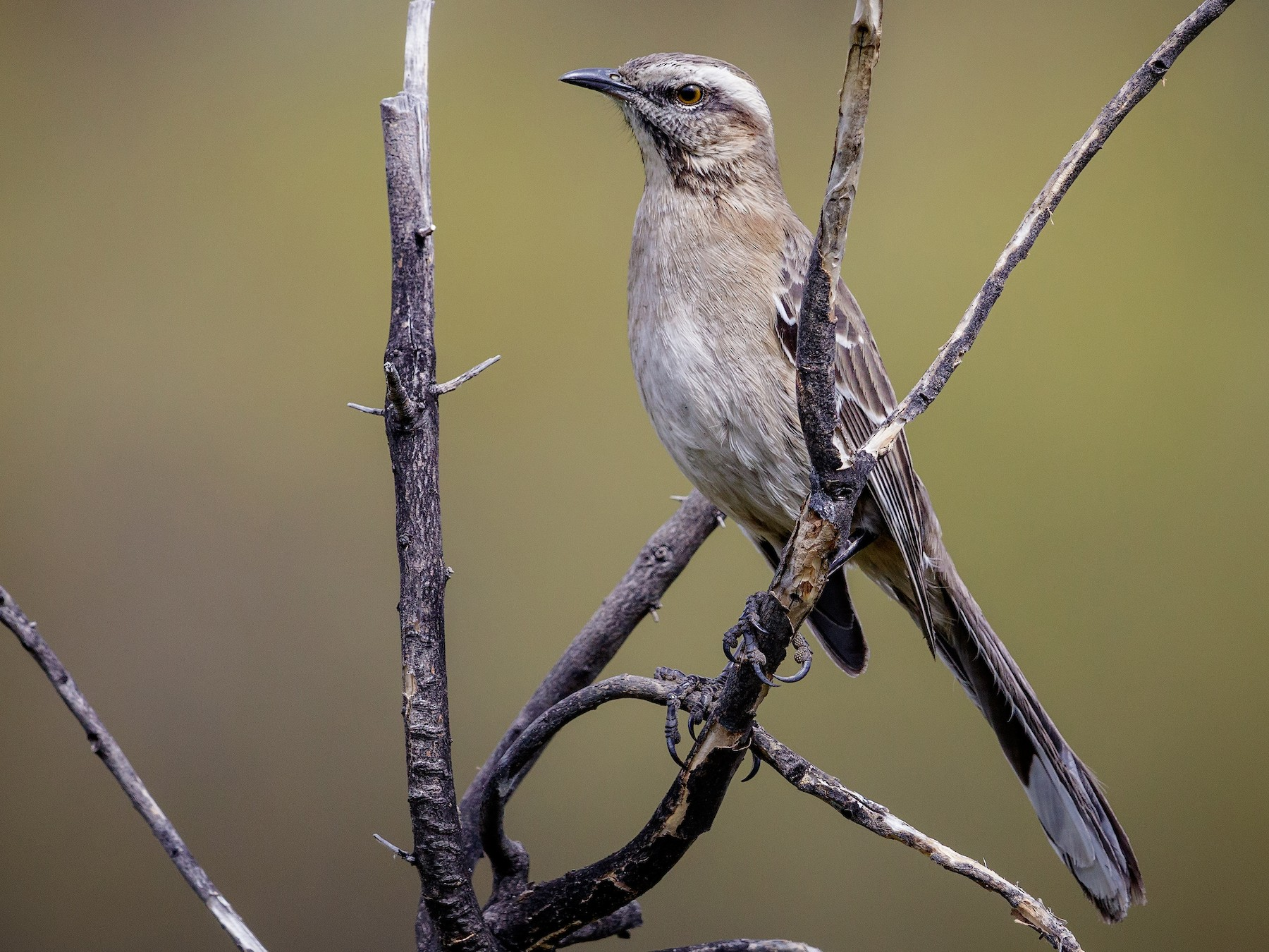 Chilean Mockingbird - Pio Marshall