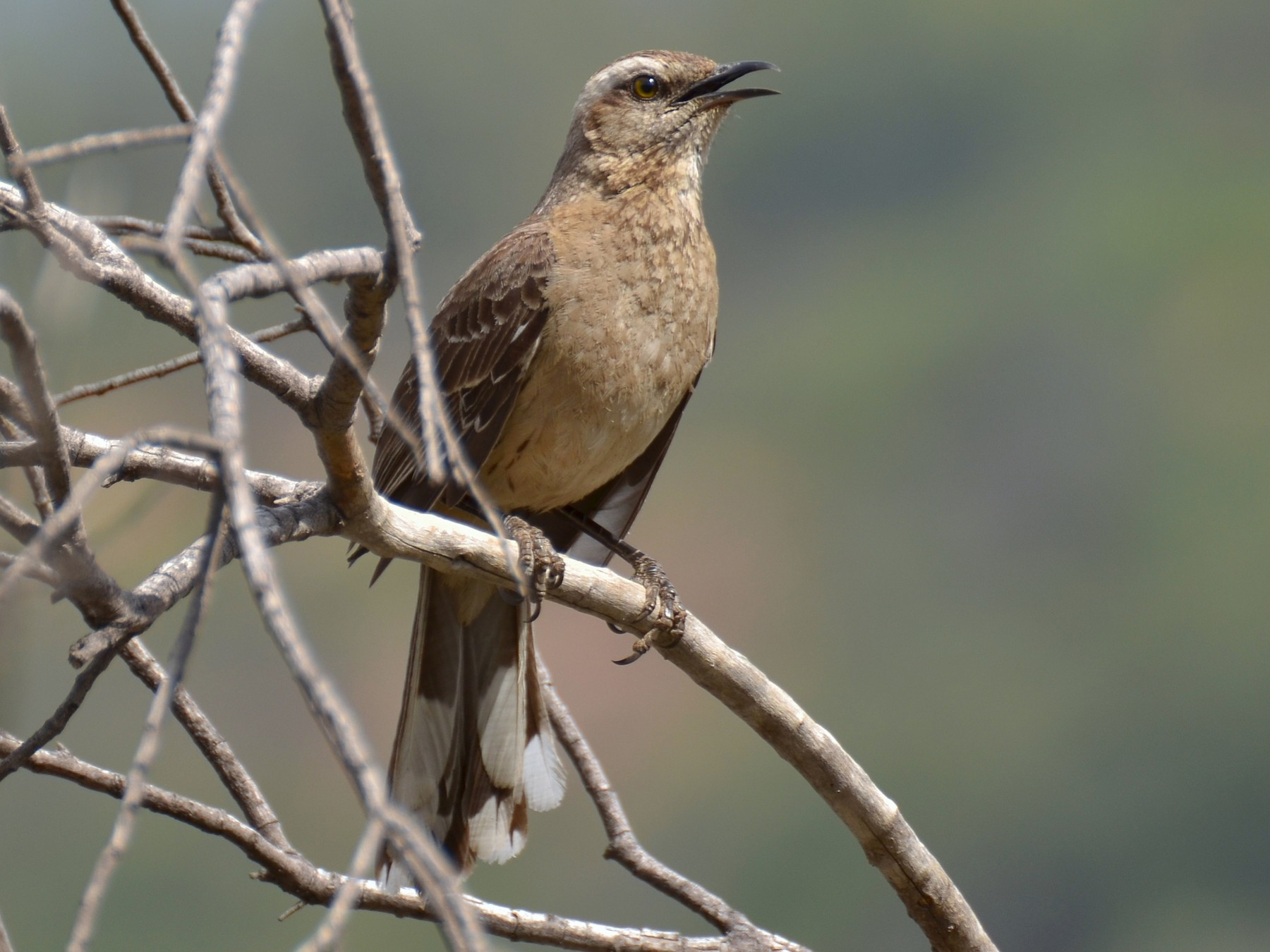 Chilean Mockingbird - Pablo Gutiérrez Maier