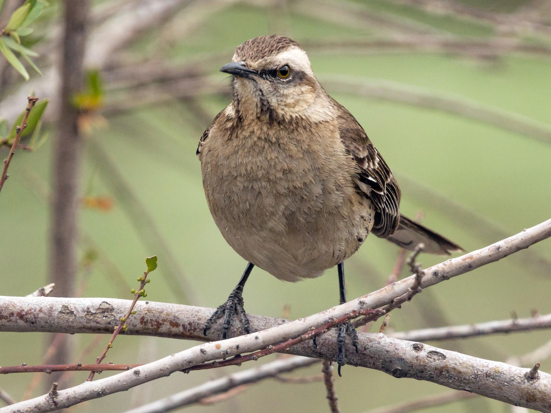 Chilean Mockingbird - Vicente Pantoja Maggi