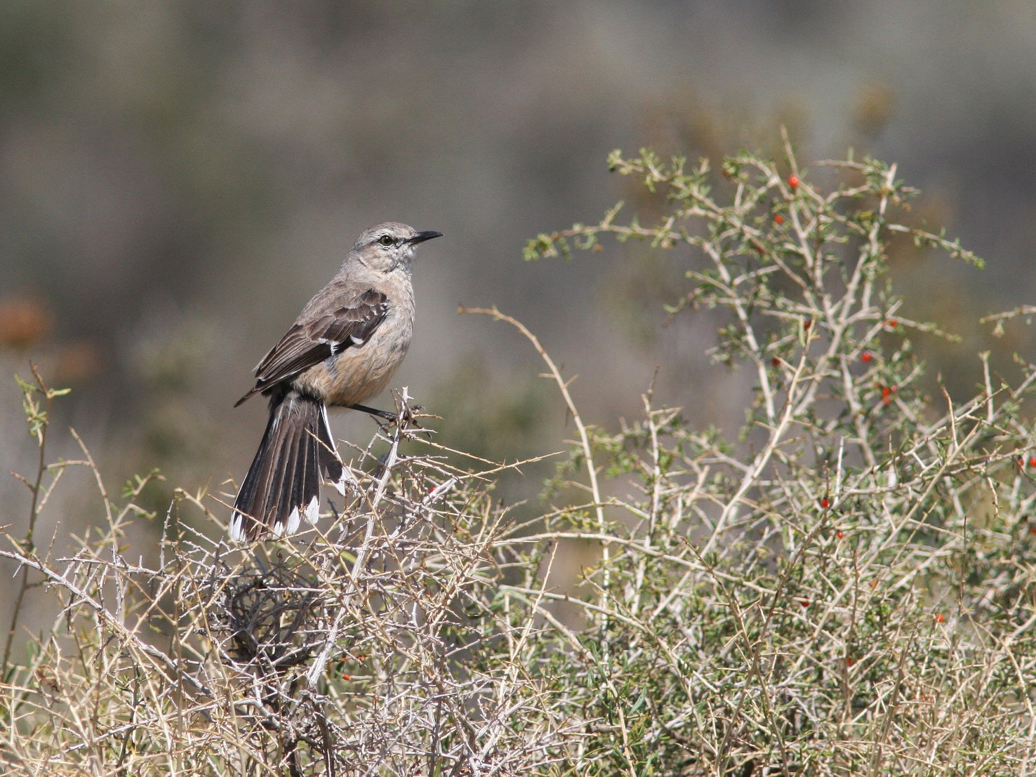 Patagonian Mockingbird - Markus Deutsch