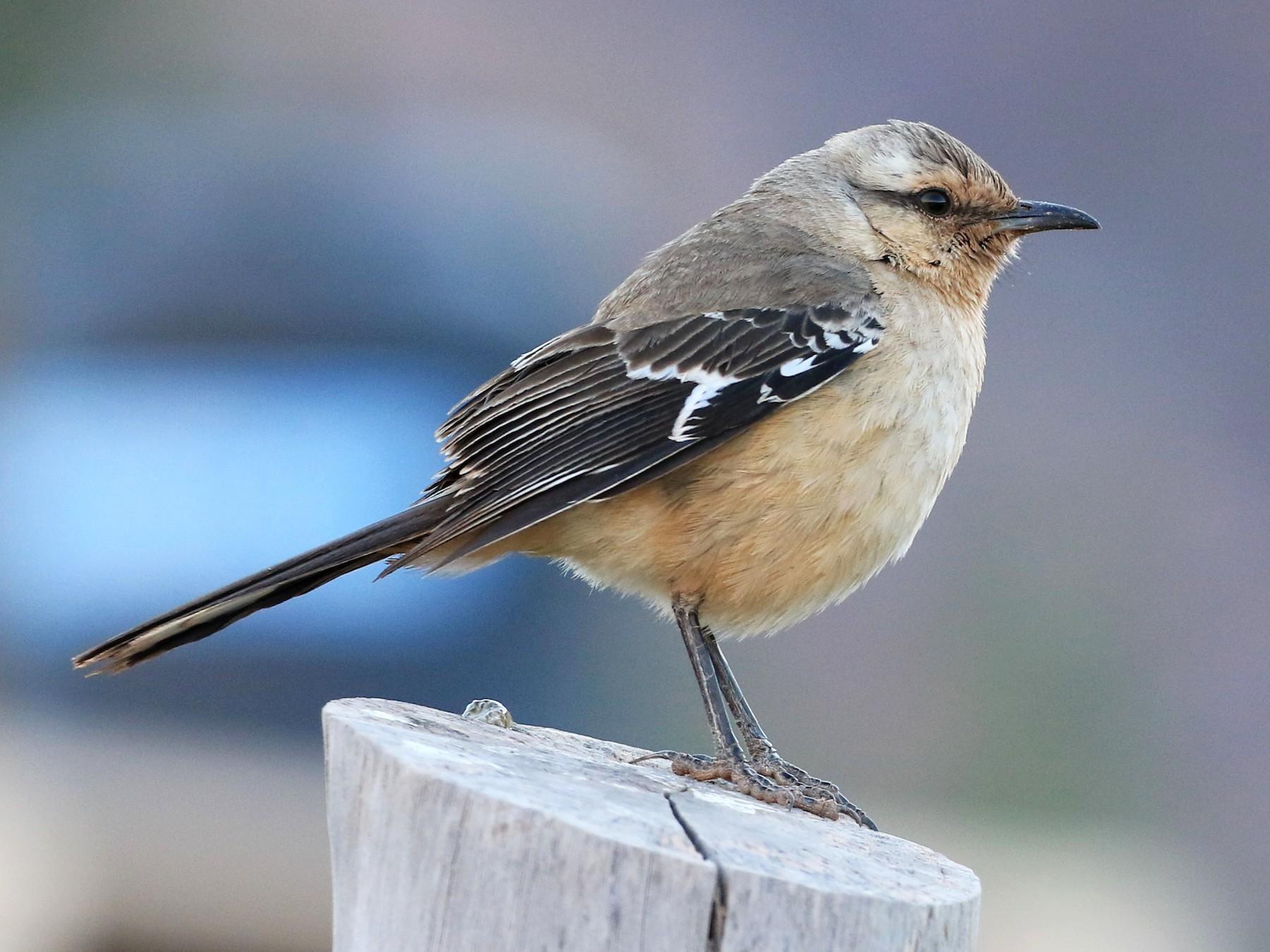 Patagonian Mockingbird - Patrick MONNEY