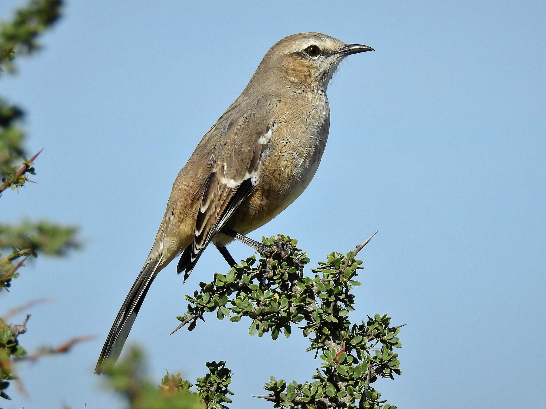 Patagonian Mockingbird - Pablo Alejandro Pla