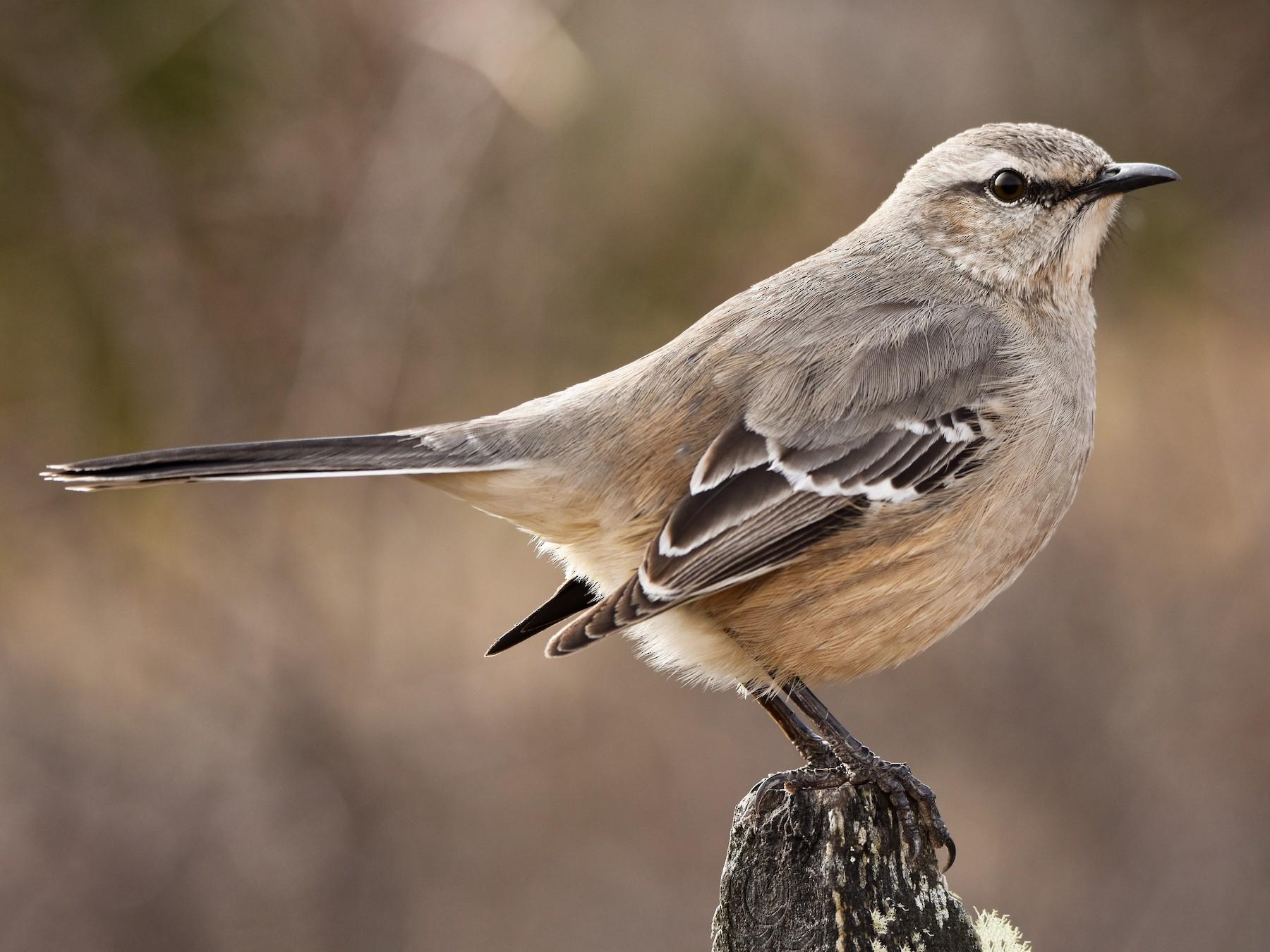 Patagonian Mockingbird - Hederd Torres García