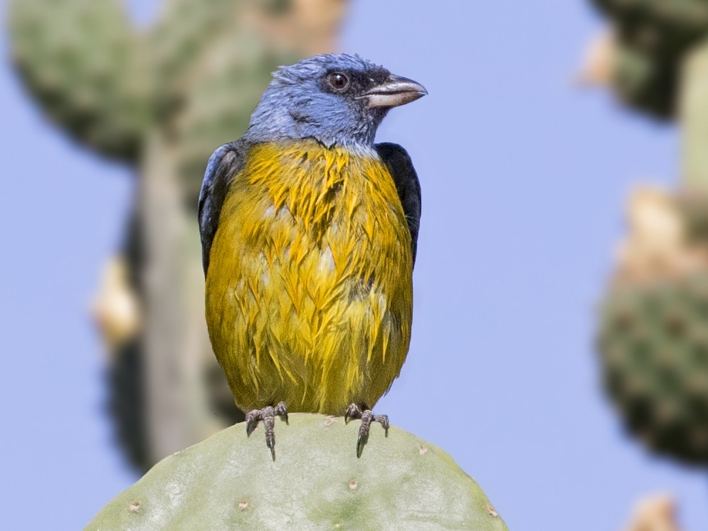 Blue-and-yellow Tanager - Pio Marshall
