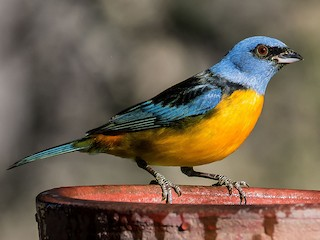 - Blue-and-yellow Tanager
