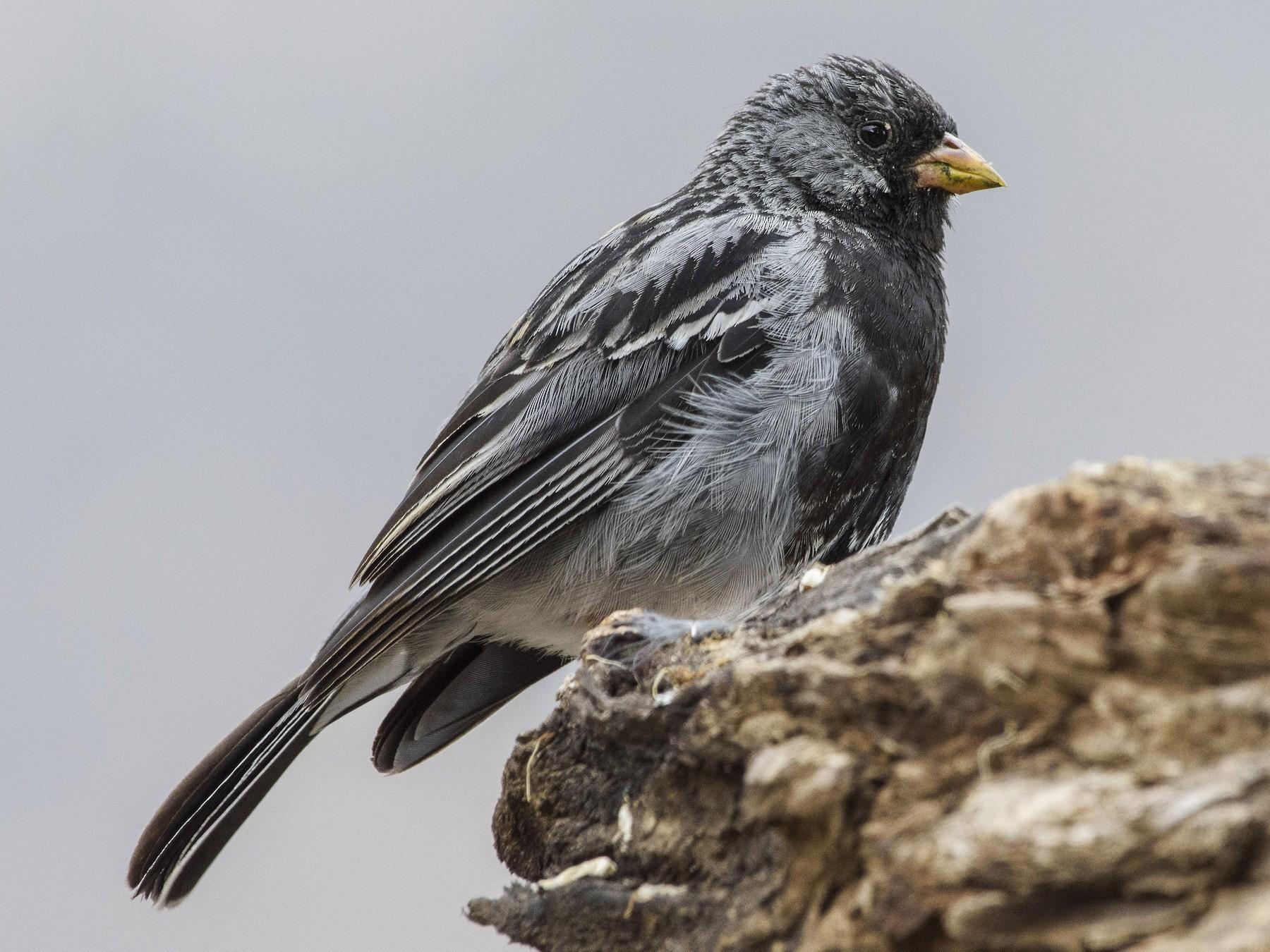 Mourning Sierra-Finch - VERONICA ARAYA GARCIA