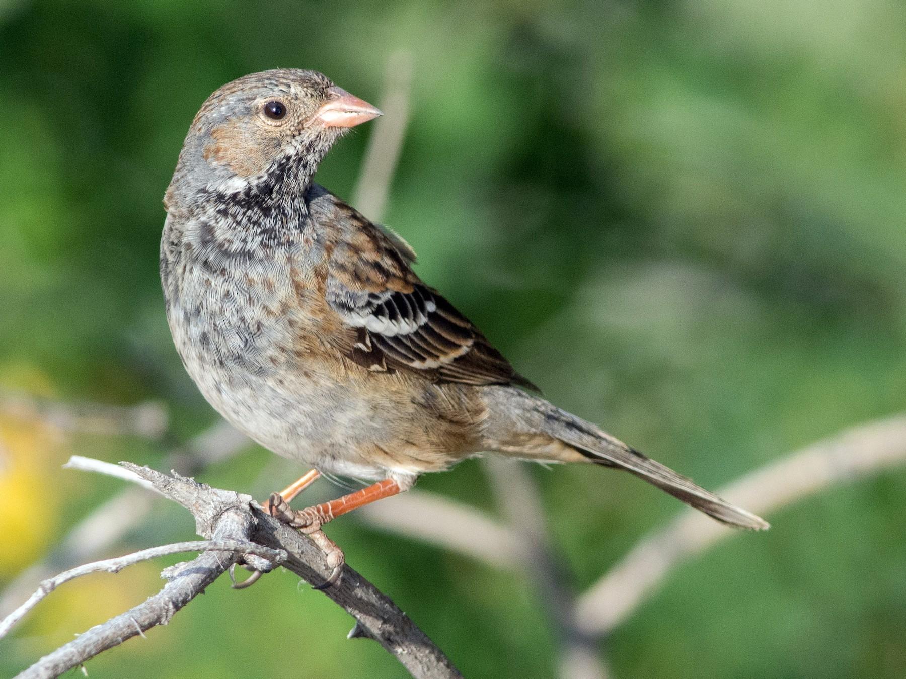 Mourning Sierra-Finch - Anonymous eBirder