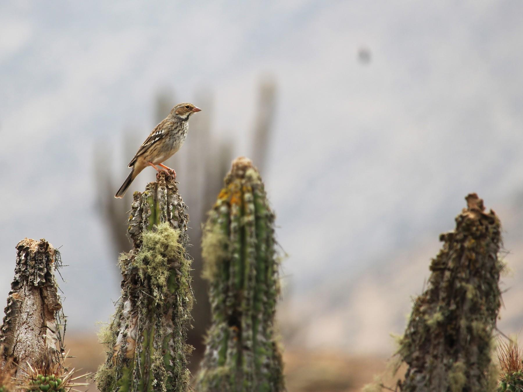 Mourning Sierra-Finch - Juan Mauricio Contreras