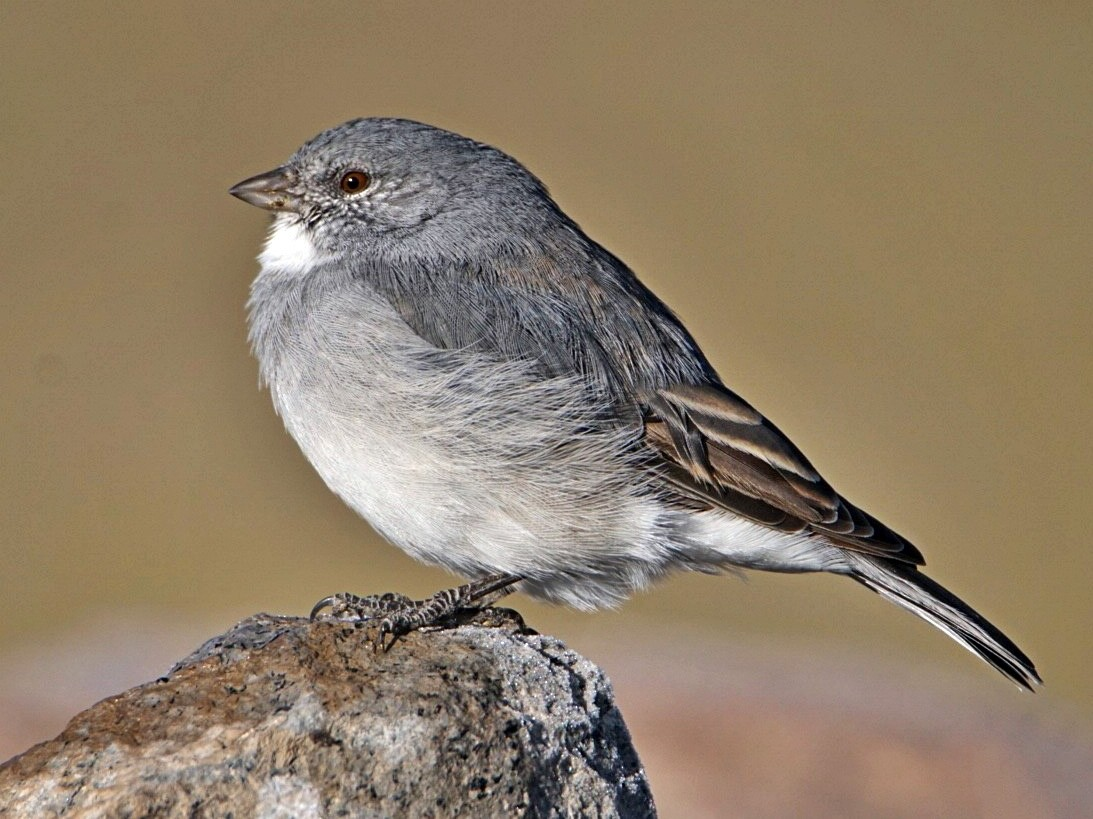 White-throated Sierra-Finch - marcelo muñoz