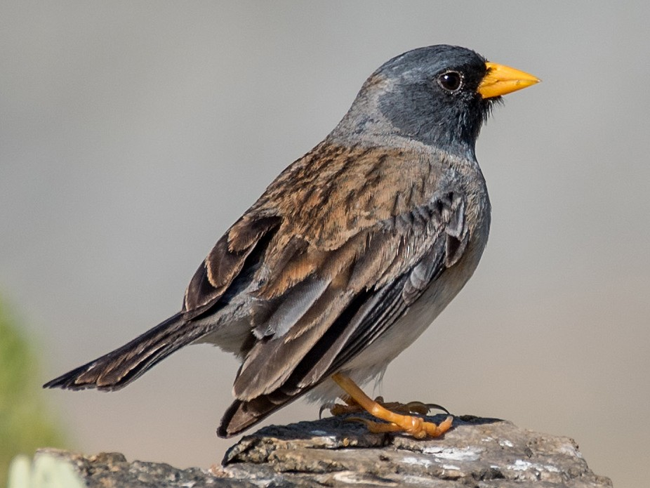Band-tailed Sierra-Finch - Vicente Pantoja Maggi
