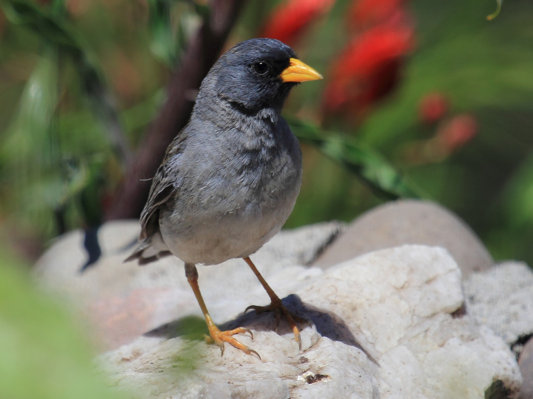 Band-tailed Sierra-Finch - Rigoberto  Yañez