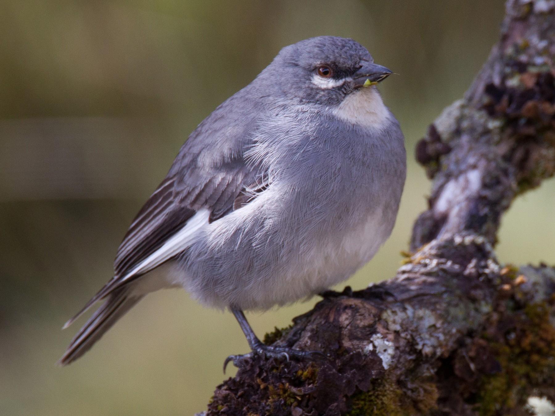 White-winged Diuca-Finch - Chris Wood