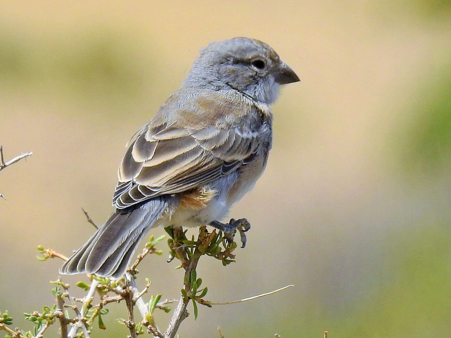 Common Diuca-Finch - Pablo Alejandro Pla