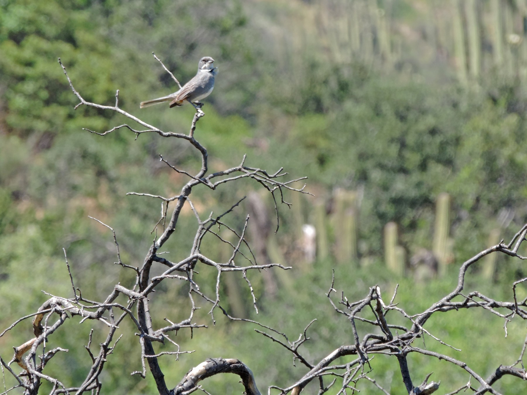 Common Diuca-Finch - Maria Lopez Rico