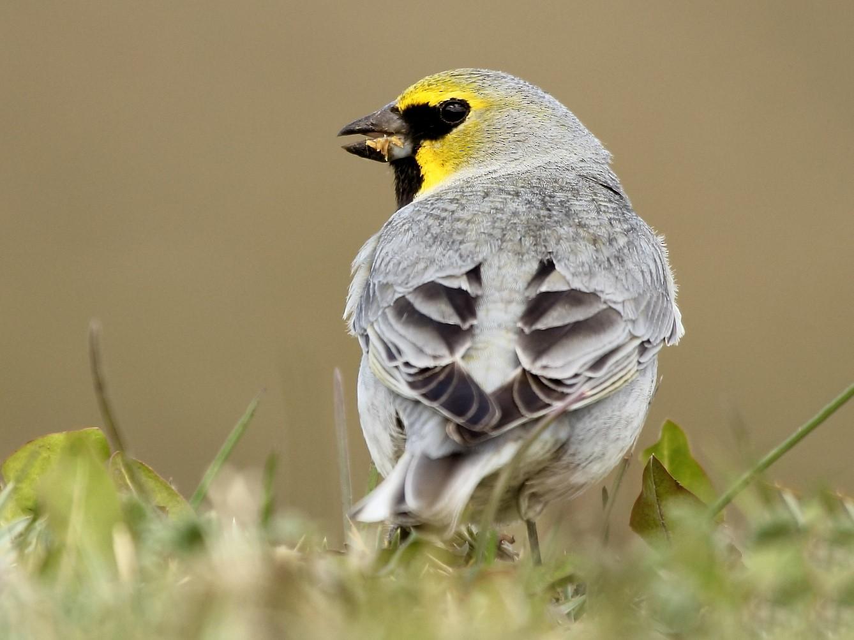 Yellow-bridled Finch - Pablo Andrés Cáceres Contreras