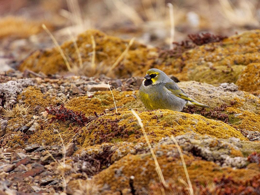 Yellow-bridled Finch - jose diaz tavie