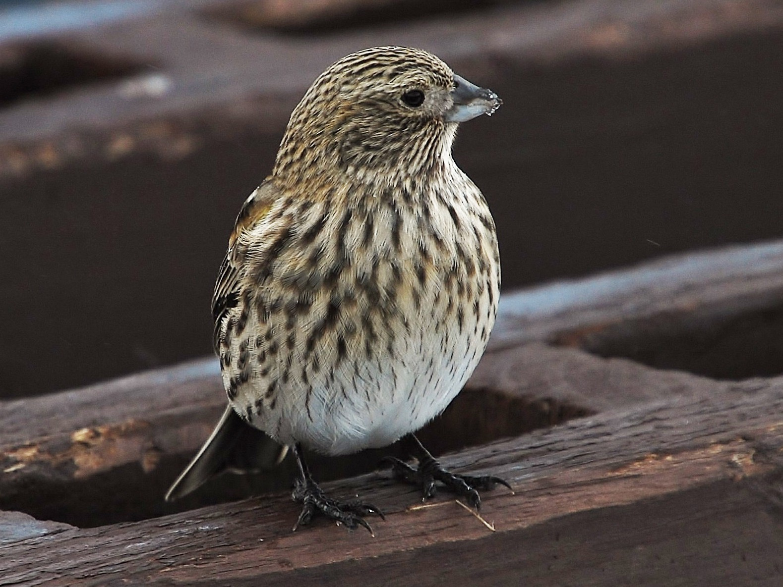 Yellow-bridled Finch - Pablo Santonja