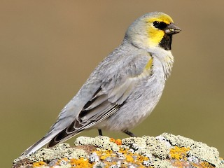- Yellow-bridled Finch