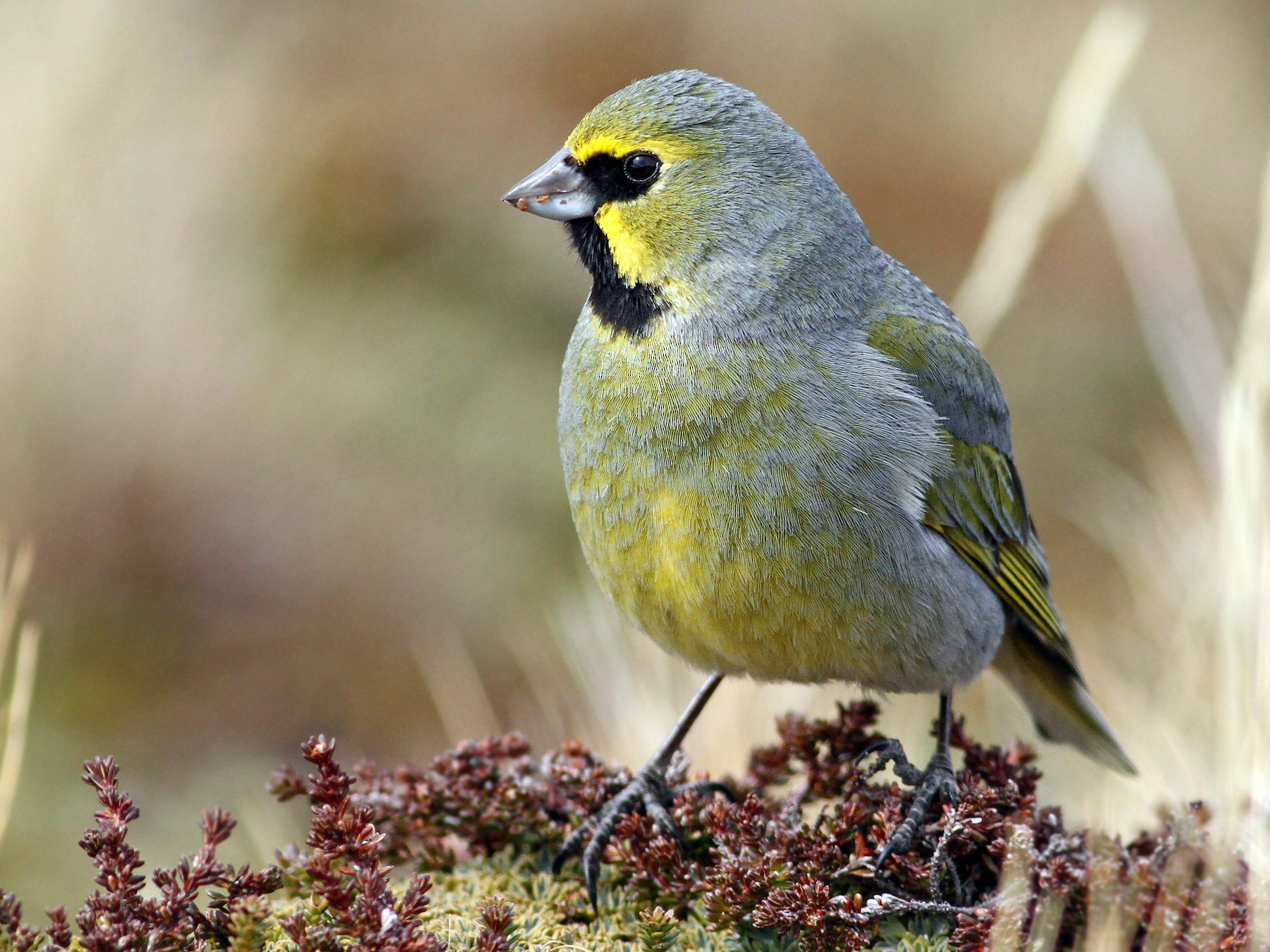 Yellow-bridled Finch - Andrew Spencer
