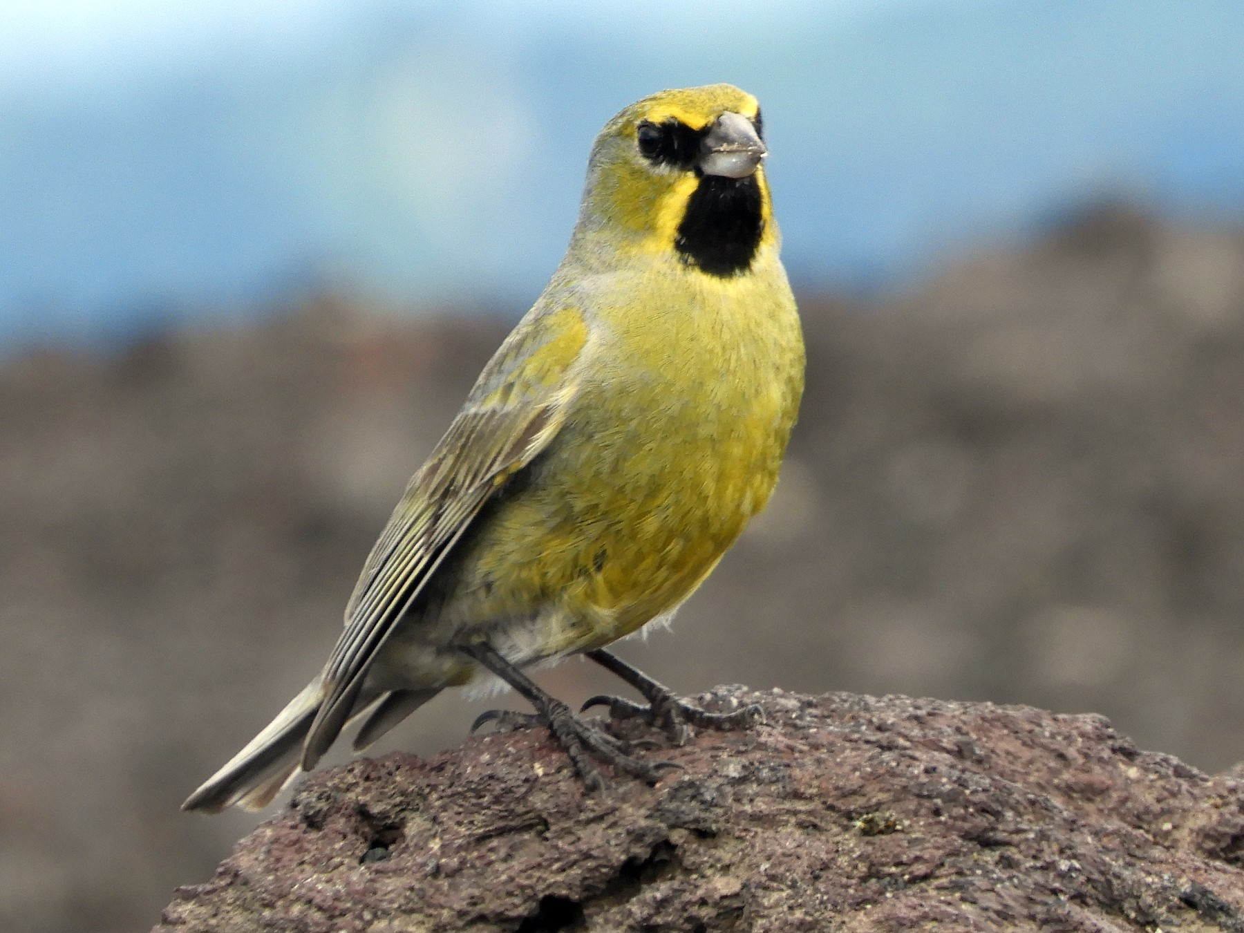 Yellow-bridled Finch - Sue Plankis