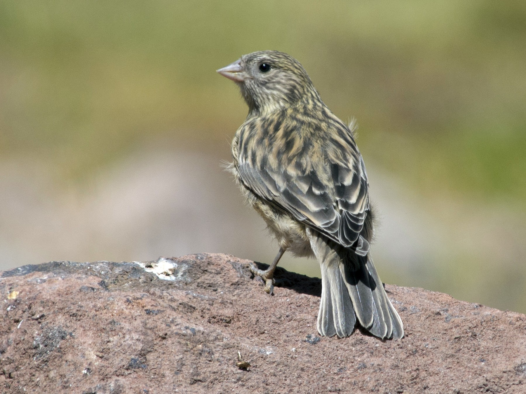 Yellow-bridled Finch - Cristian Pinto