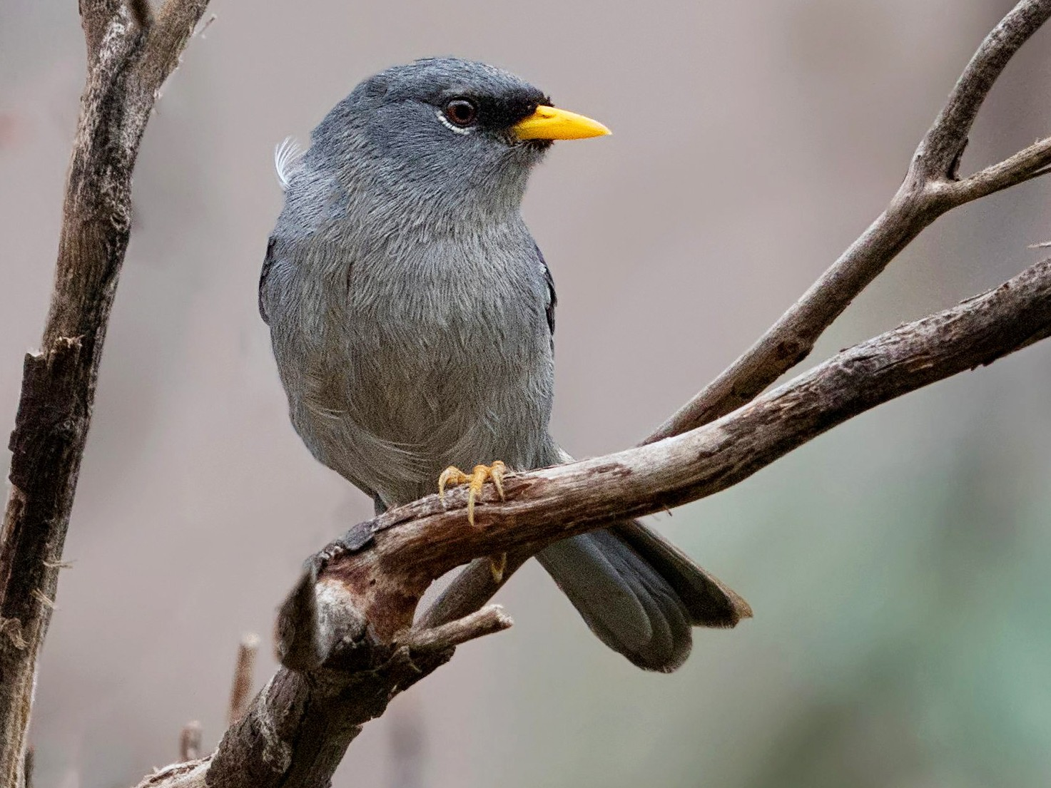 Slender-billed Finch - Pio Marshall