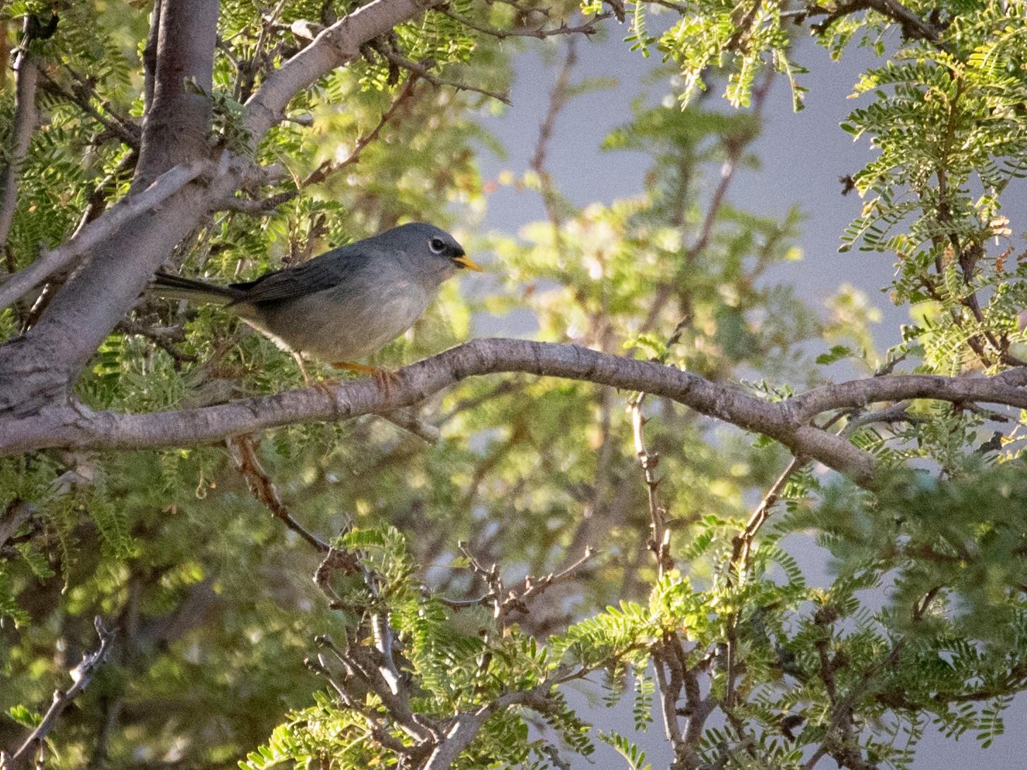 Slender-billed Finch - Vicente Pantoja Maggi