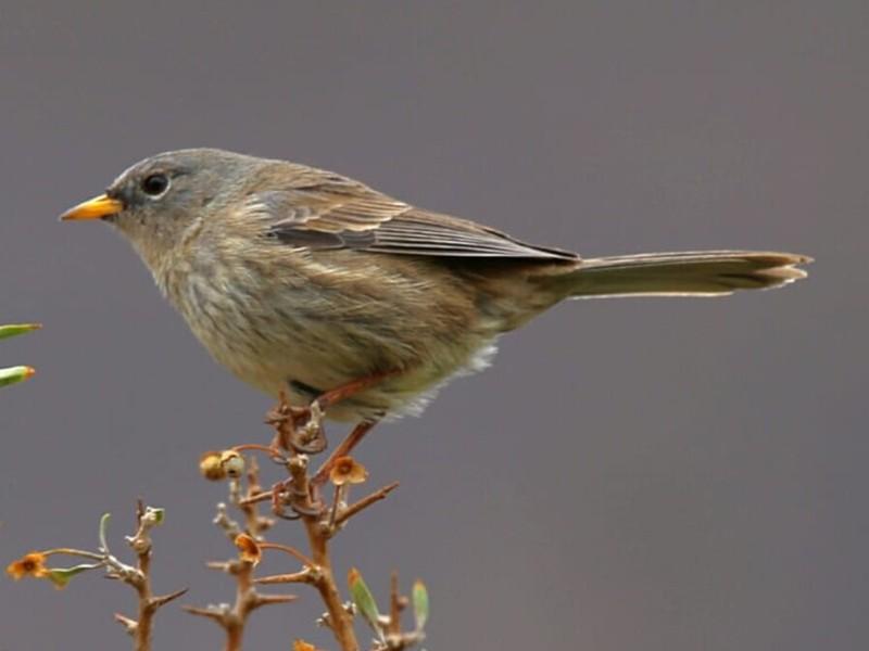 Slender-billed Finch - Charly Moreno Taucare