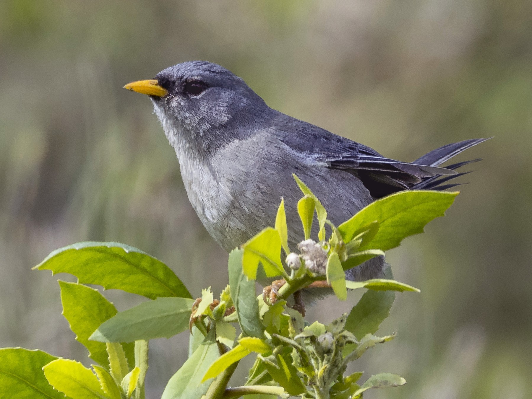 Slender-billed Finch - VERONICA ARAYA GARCIA