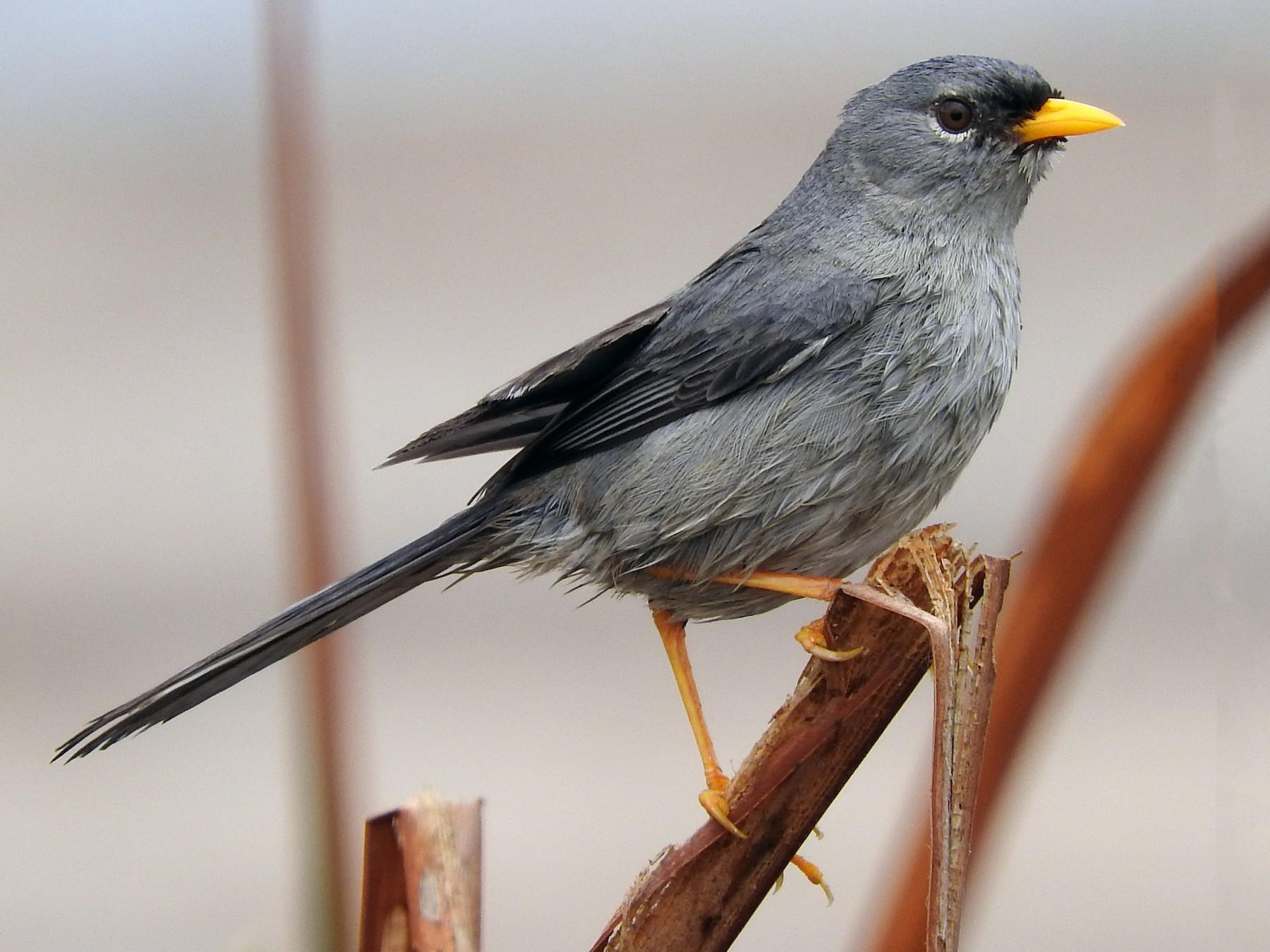 Slender-billed Finch - Pablo Galdames