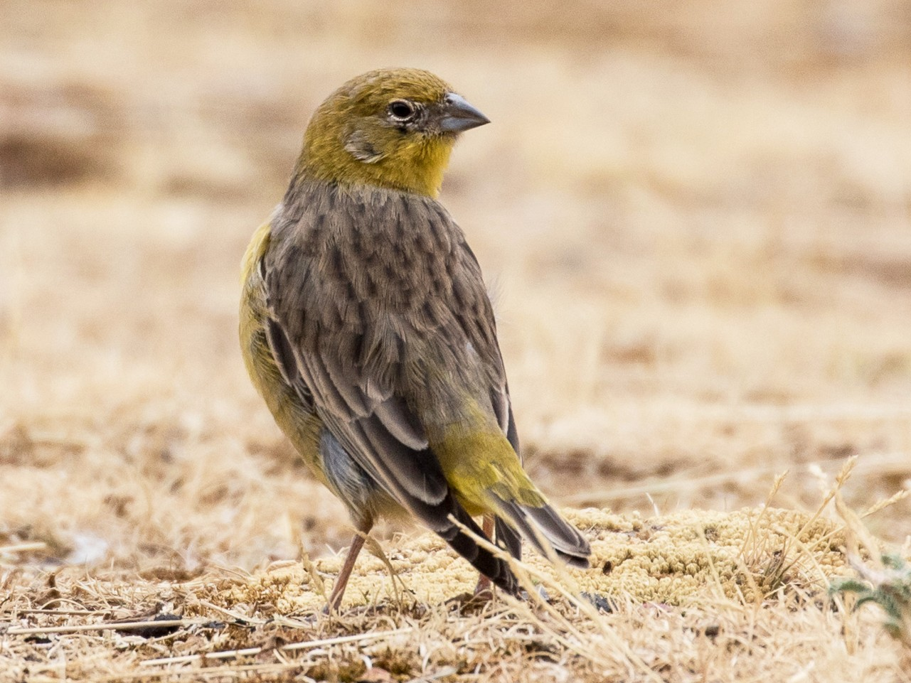 Bright-rumped Yellow-Finch - Robert Lewis