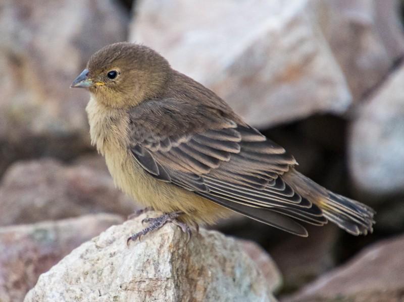 Greater Yellow-Finch - Darío de la Fuente