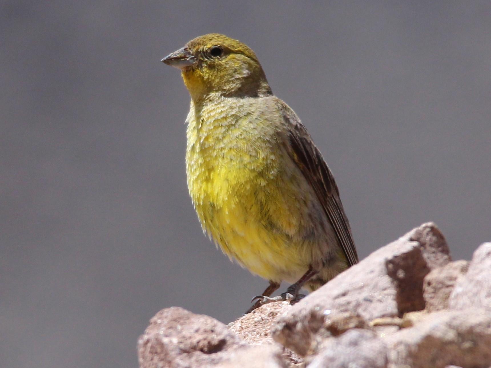 Greater Yellow-Finch - Michael Weymann