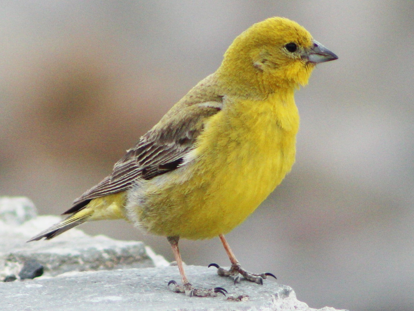 Greater Yellow-Finch - Matías Garrido