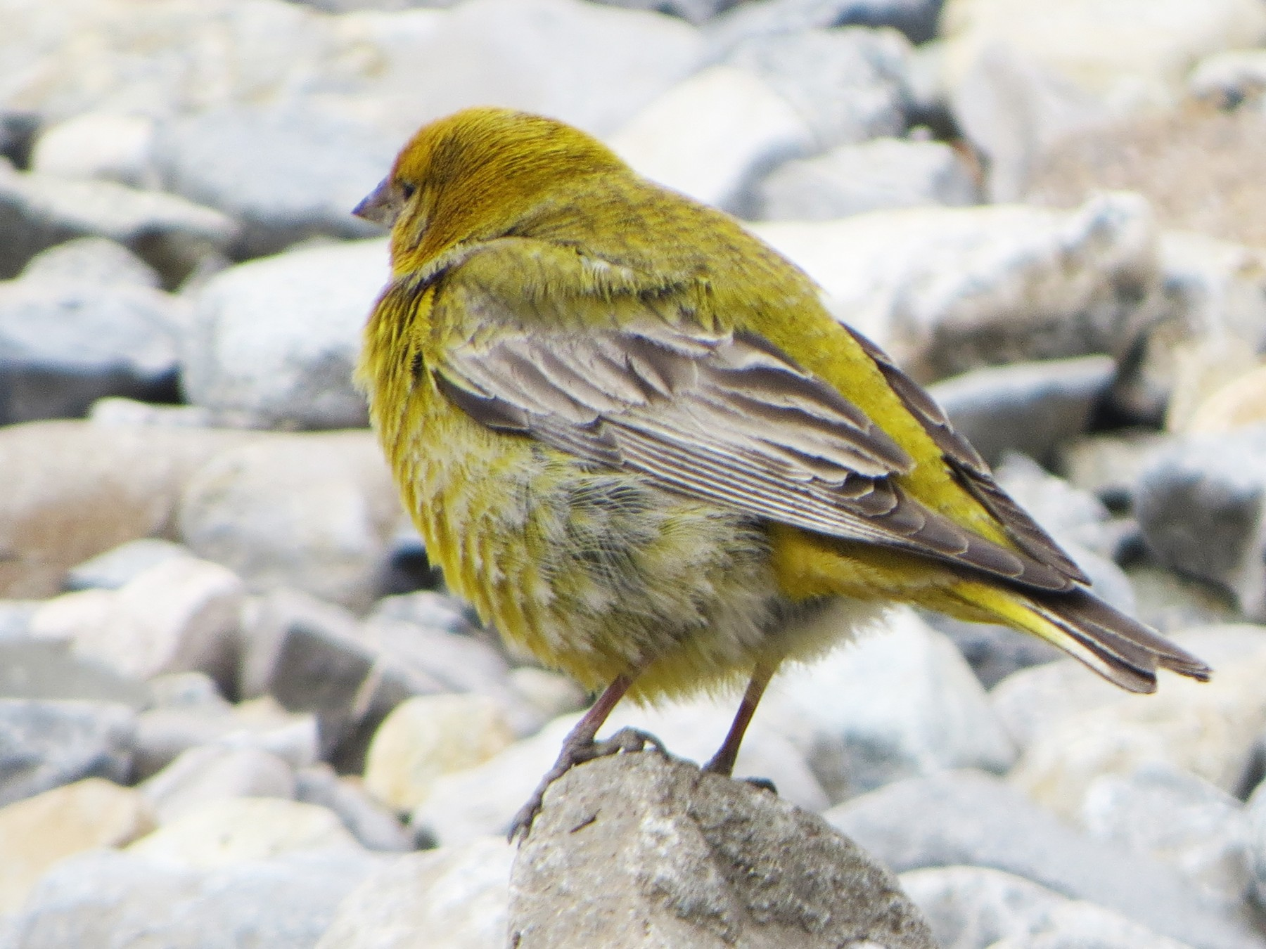 Greater Yellow-Finch - Nelson  Contardo