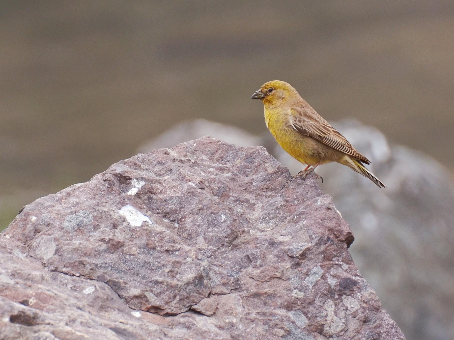Greater Yellow-Finch - Pablo Gutiérrez Maier