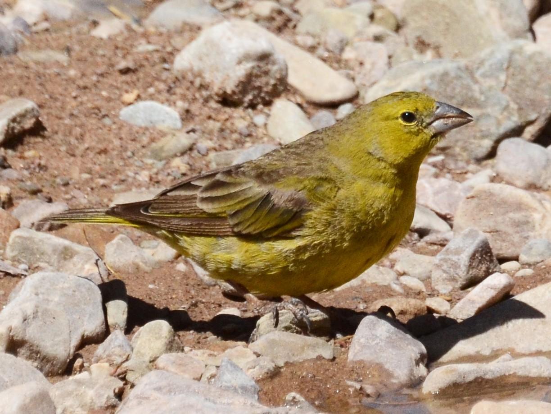 Greenish Yellow-Finch - David M. Bell
