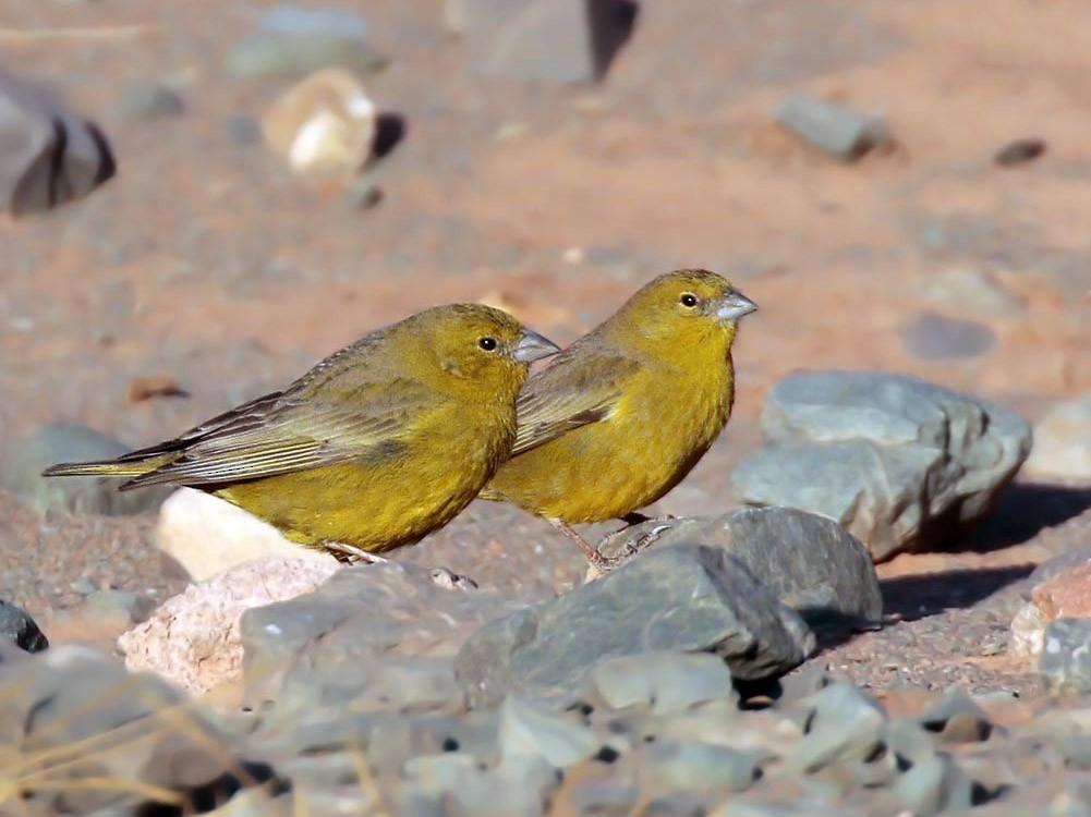 Greenish Yellow-Finch - Alec Earnshaw