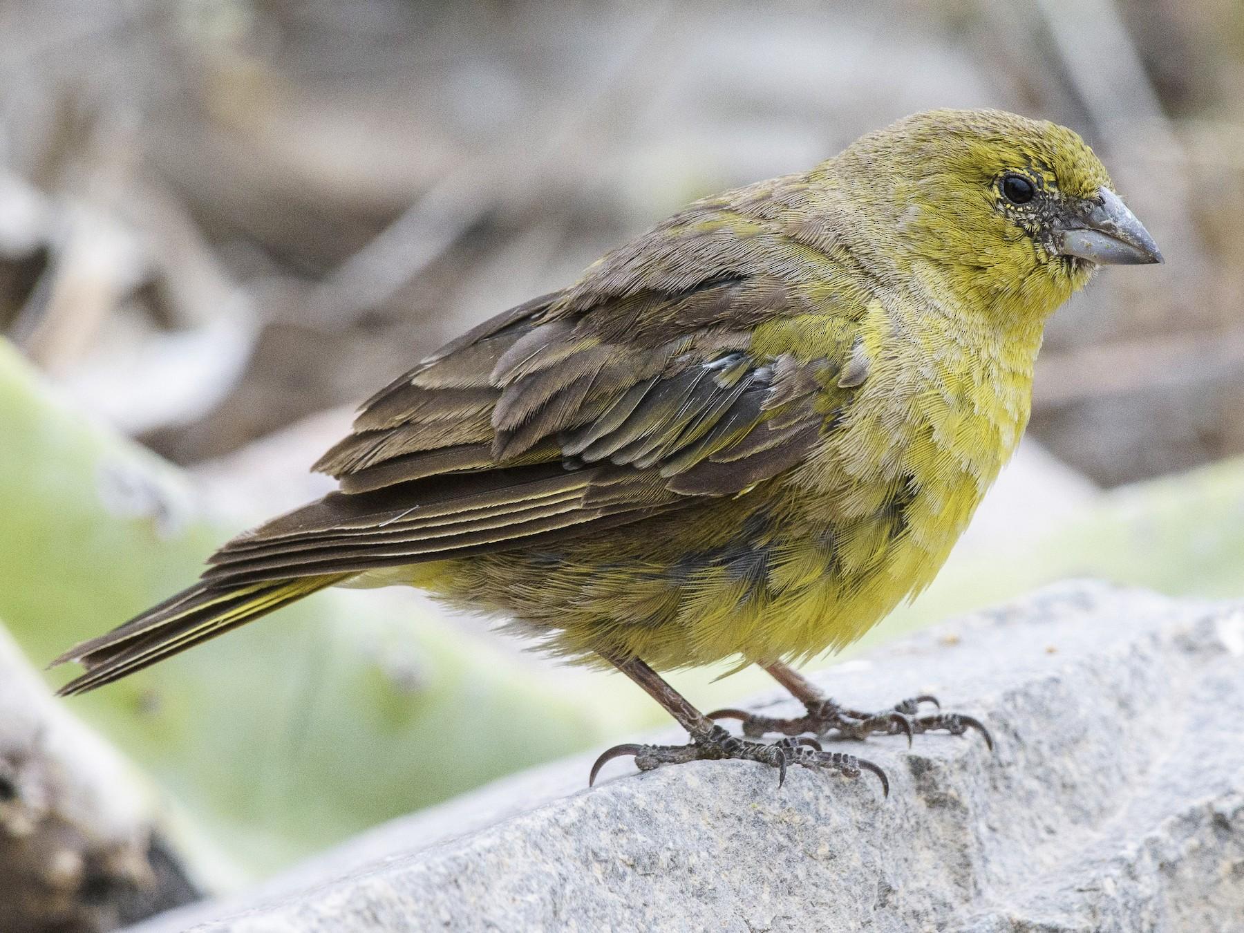 Greenish Yellow-Finch - VERONICA ARAYA GARCIA