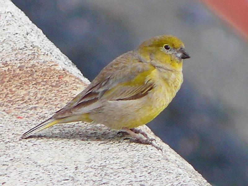 Patagonian Yellow-Finch - Jason Leifester